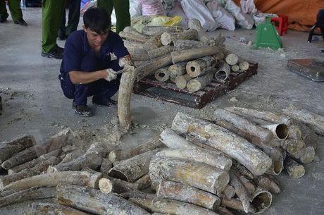 Thanh pho Ho Chi Minh bat lo hang gan 1 tan nga voi giau trong go - Anh 1