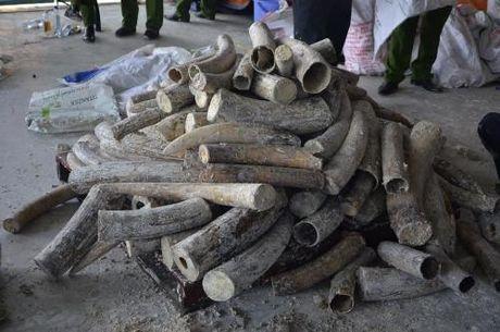 Tp. Ho Chi Minh phat hien gan 1 tan nga voi giau trong go - Anh 1