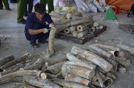 Tp. Ho Chi Minh phat hien gan 1 tan nga voi giau trong go - Anh 5