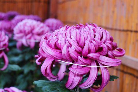 Bup be mac trang phuc hoa cuc trong le hoi o Nhat Ban - Anh 10