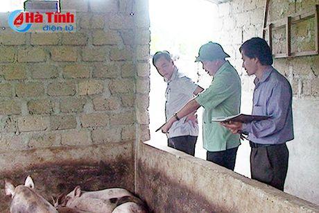 83 con lon o Huong Trach chet chua ro nguyen nhan - Anh 1