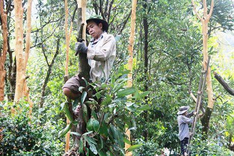 Quang Ngai xay dung vung chuyen canh cay que - Anh 1