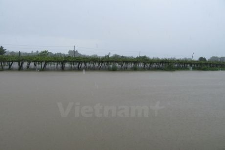 Ninh Thuan: Nhieu dien tich hoa mau chim trong nuoc lu - Anh 3
