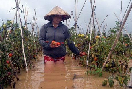 Thuy dien xa lu, hang nghin hecta rau o Lam Dong bi nhan chim - Anh 1