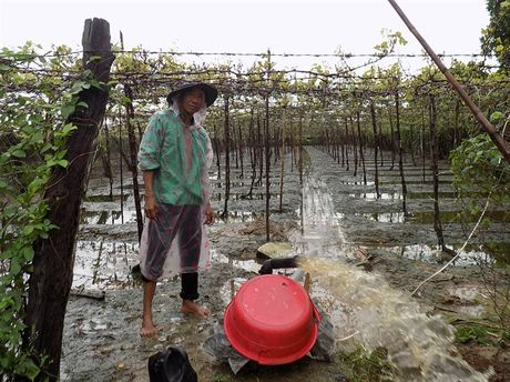San xuat nong nghiep Ninh Thuan thiet hai nang ne do mua lu - Anh 4