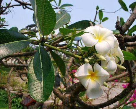 Cay hoa su trang chua benh tai tinh the nao? - Anh 1