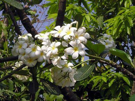 Cay hoa su trang chua benh tai tinh the nao? - Anh 2