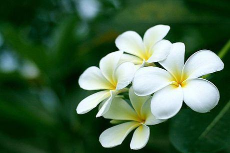 Cay hoa su trang chua benh tai tinh the nao? - Anh 3