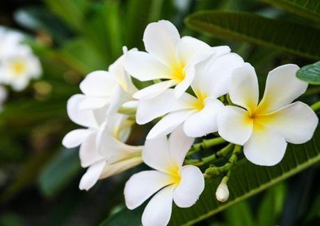 Cay hoa su trang chua benh tai tinh the nao? - Anh 4