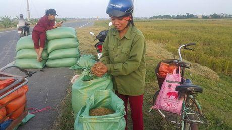 Ninh Binh: Nhieu ho dan giau len nho trong giong lua quy - Anh 3