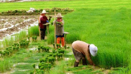 Thai Lan se danh 514 trieu USD ho tro nong dan san xuat lua gao - Anh 1