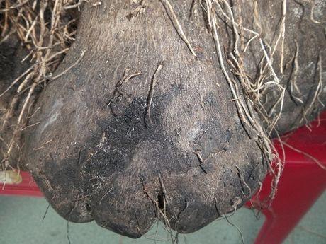 Cu ba trong duoc cu khoai tia khong lo hinh thu quai di nang 23kg - Anh 2