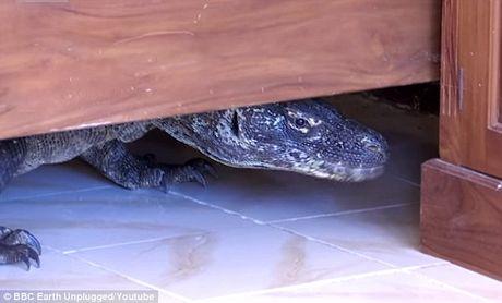 Hot hoang vi bat gap rong Komodo trong phong tam khach san - Anh 2