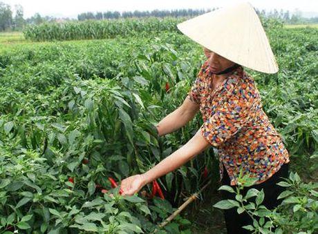 Nang suat lua, ngo, ot... tang 15-20% nho phan bon Lam Thao - Anh 1