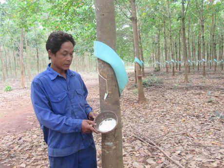Nhung vuon cay cao su nghia tinh tai Campuchia - Anh 3