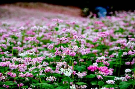 Chiem nguong hoa tam giac mach o pho di bo Ha Noi - Anh 1