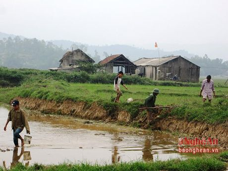 Nong dan gap kho vi nan chuot pha hai - Anh 2