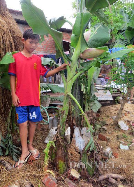 Ngo nghinh cay chuoi hot moi 3 thang tuoi, cao 1 met da de buong - Anh 1
