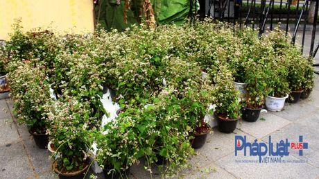 Ngo ngang truoc ve dep cua hoa tam giac mach khoe sac giua Ha Noi - Anh 1