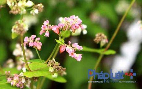 Ngo ngang truoc ve dep cua hoa tam giac mach khoe sac giua Ha Noi - Anh 3