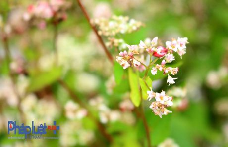 Ngo ngang truoc ve dep cua hoa tam giac mach khoe sac giua Ha Noi - Anh 4