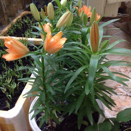 Mach ban cach chon trong hoa no dung dip Tet - Anh 10