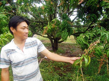 Nong dan Cam Lam 'khoc' vu xoai Tet - Anh 1