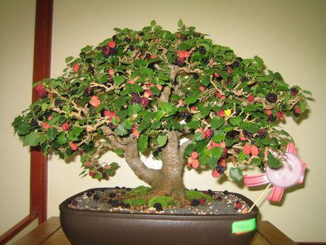 Chiem nguong chau bonsai tu cay an qua cuc doc de trung Tet - Anh 11
