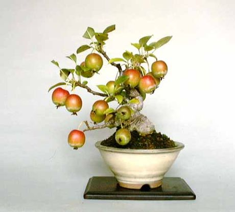 Chiem nguong chau bonsai tu cay an qua cuc doc de trung Tet - Anh 14