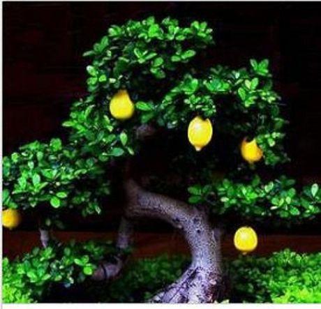 Chiem nguong chau bonsai tu cay an qua cuc doc de trung Tet - Anh 15