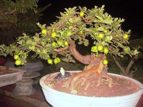 Chiem nguong chau bonsai tu cay an qua cuc doc de trung Tet - Anh 1