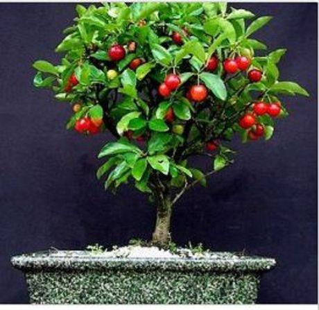 Chiem nguong chau bonsai tu cay an qua cuc doc de trung Tet - Anh 2