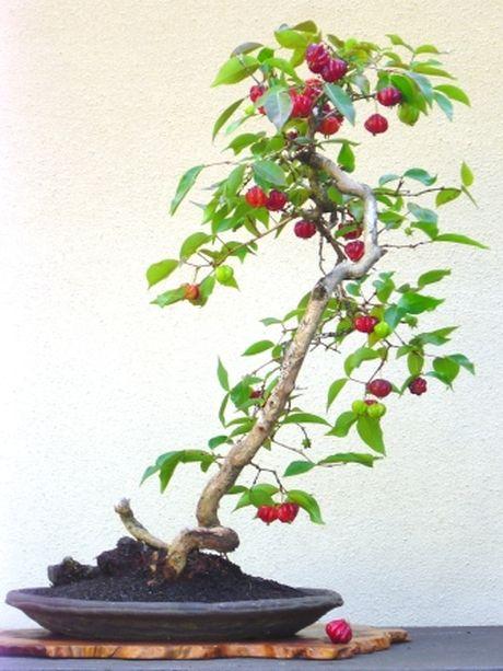 Chiem nguong chau bonsai tu cay an qua cuc doc de trung Tet - Anh 3