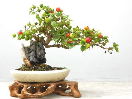 Chiem nguong chau bonsai tu cay an qua cuc doc de trung Tet - Anh 4