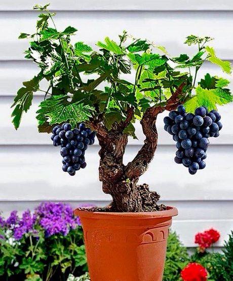 Chiem nguong chau bonsai tu cay an qua cuc doc de trung Tet - Anh 5