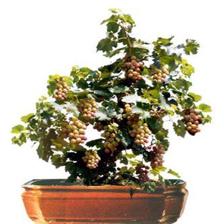 Chiem nguong chau bonsai tu cay an qua cuc doc de trung Tet - Anh 6