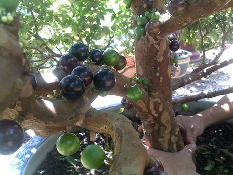 Chiem nguong chau bonsai tu cay an qua cuc doc de trung Tet - Anh 7
