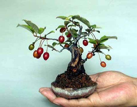 Chiem nguong chau bonsai tu cay an qua cuc doc de trung Tet - Anh 8