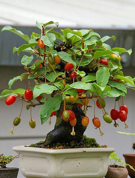 Chiem nguong chau bonsai tu cay an qua cuc doc de trung Tet - Anh 9