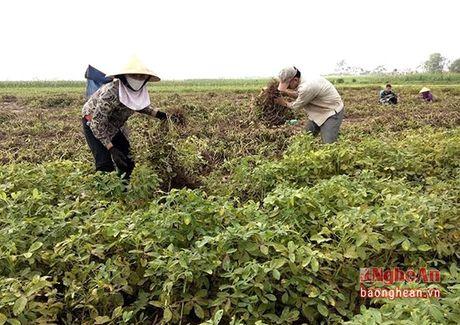 Nong dan Dien Chau duoc gia lac dong - Anh 1