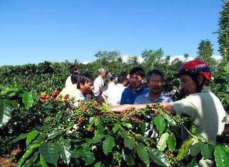 Quang Tri xay dung nhan hieu tap the cho caphe Khe Sanh - Anh 1