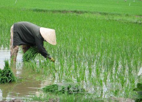 Phu Yen gieo sa 26.500 ha lua vu Dong Xuan - Anh 1