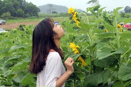 Chuan bi co 'Ngay hoi Hoa huong duong' lon nhat Viet Nam tai Nghe An - Anh 3