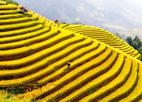 Chiem nguong sac vang Tu Le - Yen Bai - Anh 2