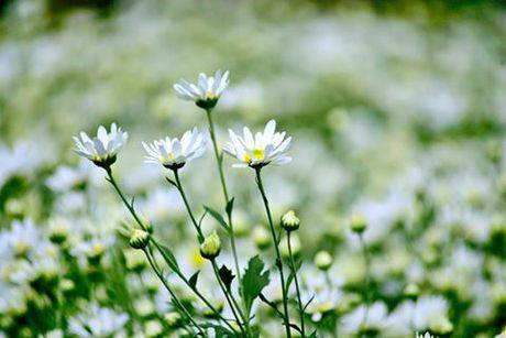 Diu dang cuc hoa mi xuong pho - Anh 4