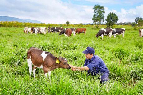 Trang trai bo sua Organic dau tien tai Viet Nam dat chuan quoc te - Anh 1