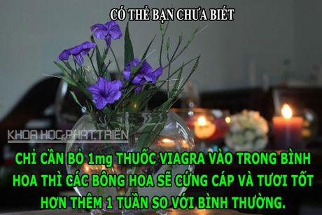 DOC-LA: Viagra giup hoa tuoi lau, chim khong the di tieu - Anh 1
