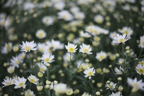 Kiem bon tien tu vuon cuc hoa mi - Anh 4