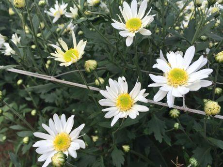 Nguoi Ha Noi ru nhau di chup anh cuc hoa mi - Anh 1