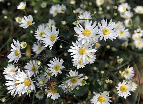 Mua cuc hoa mi xuong pho - Anh 3